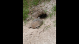 The gopher tortoise - (1/12)