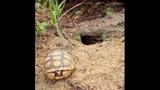 The gopher tortoise - (11/12)