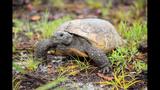 The gopher tortoise - (6/12)