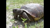 The gopher tortoise - (9/12)