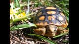The gopher tortoise - (12/12)
