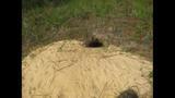 The gopher tortoise - (7/12)