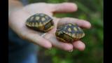 The gopher tortoise - (10/12)