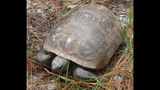 The gopher tortoise - (3/12)