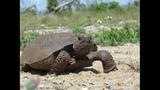 The gopher tortoise - (8/12)