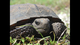 The gopher tortoise - (5/12)