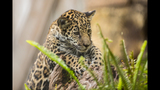 Gallery: Khan, the baby jaguar turns 1 - (9/9)