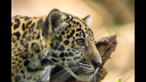 Gallery: Khan, the baby jaguar turns 1 - (1/9)