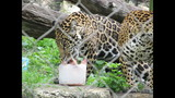 Gallery: Khan, the baby jaguar turns 1 - (6/9)