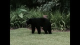 Gallery: 300 pound bear spotted in World Golf Village - (5/7)