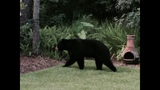 Gallery: 300 pound bear spotted in World Golf Village - (2/7)