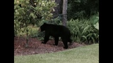 Gallery: 300 pound bear spotted in World Golf Village - (1/7)