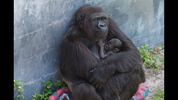 Zoo Officials said a Western Iowland gorilla named Madini had her baby at 8:35 p.m. on Saturday.