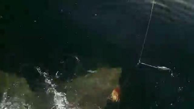 Great White Shark spotted by fishing charter off...