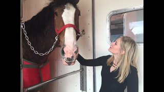 Budweiser Clydesdales coming to Jacksonville for meet and greet