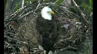 LINK: Eagle camera live streams
