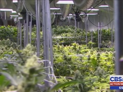 Study will look at effects of medical marijuana for veterans with PTSD