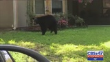 Bear spotted in Green Cove Springs backyard