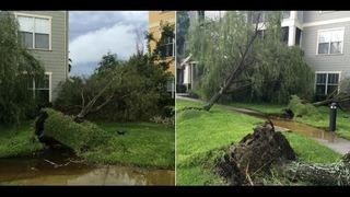 Trees uprooted in Bartram Park, likely due to a microburst