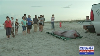 FWC investigating after two whales beach in Nassau County
