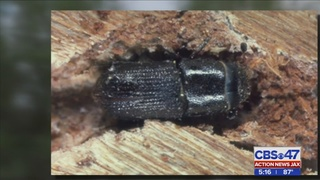 Invasive beetle destroying pine trees, worrying homeowners in St. Johns County
