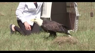 Bald eagle released at Clay County school after rehabilitation