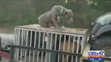 Video shows dog standing on trailer of car on busy interstate