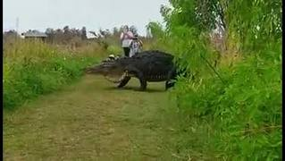 MUST SEE: Massive gator crosses Florida nature path