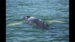Young humpback whale spotted off coast of Jacksonville Beach