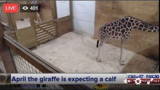 WATCH: April the giraffe to give birth soon at Animal Adventure Park in New York