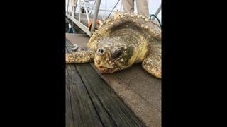 St. Augustine marina workers find distressed loggerhead sea turtle…