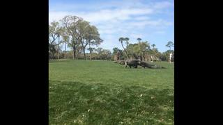 Video: Large gator interrupts South Carolina golf tournament