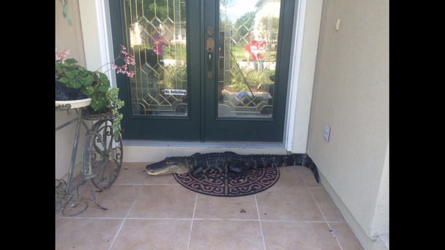 Photos Alligator Removed From Front Door Of Fleming Island Home