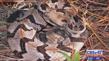 Putnam County man bit on tongue while trying to kiss rattlesnake, neighbor says
