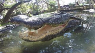 Alligator Farm employee fired after tweets of wanting to toss