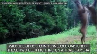 Deer fight caught on camera