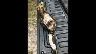 Wildlife officials investigate person in possession of dead bald eagle
