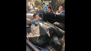 Giant sea turtle washed ashore with propeller injury dies