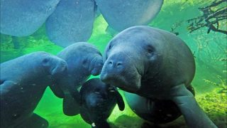 Spike in manatee deaths contributed to cold stress