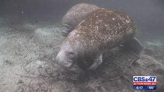 Manatee deaths on record pace
