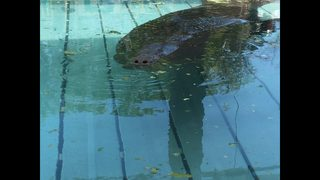 Rescued cold-stressed manatees taken to Jacksonville critical care facility