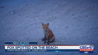 Foxes sighted in Ponte Vedra Beach, local counties