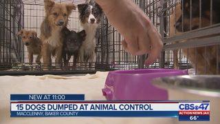15 mini Australian Shepherds dumped outside local animal control, need fostering