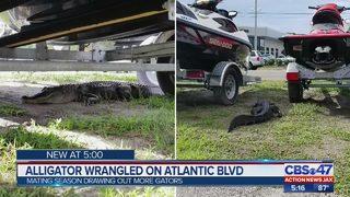 Alligator trapped on Atlantic Blvd sidewalk