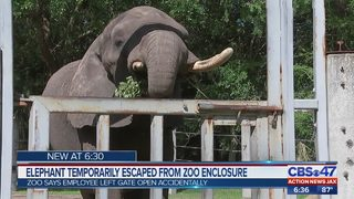 ANJax | Ali the African elephant escapes