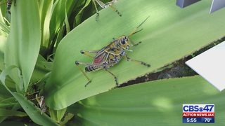 Lubber grasshoppers wreaking havoc in local yards