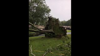 Large oak trees blown over in Clay County neighborhood