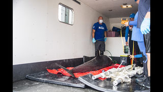 SeaWorld Orlando assists in rescue of melon-headed whale
