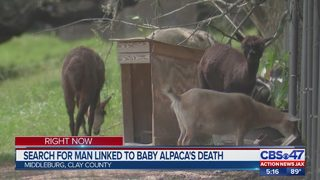 Clay County hunts for man suspected of killing baby alpaca with junk food