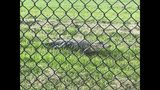 VIDEO: Alligator spotted on St. Johns County school grounds